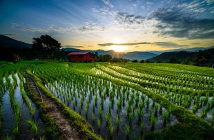 paddy-field-at-tambunan-large
