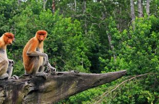 proboscis-monkey-labuk-bay-large